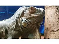 Female Iguana (Iggy)