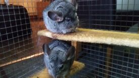 2 Grey Brother Chinchillas for sale along with cage and extras to a loving home