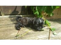 5 Shih Tzu Pups **None Malting Dogs** Ready to go now - 8 Weeks Old