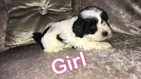 Beautiful maltipoo pups for sale