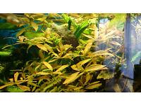 Hygrophila Polysperma Oxygenating Tropical Water Aquarium Live Plants