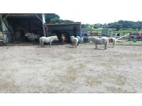 Do you love horses? have a spare few hours? disabled owner needs some voluntary help with ponies