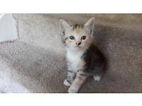 Rare 4 colours striped kitten