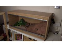 Friendly Leopard Gecko with vivarium and extras