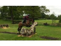15.1 registered section D gelding