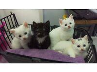 6 week old kittens,turkish angoran cross