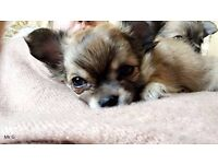 1 boy left Beautiful Long Haired Chihuahuas