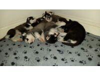 Malamute x Siberian Husky Puppies