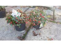 Gaultheria Plants