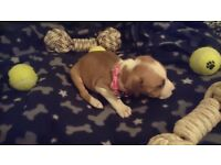 ** PRECIOUS THE SMALL FEMALE STAFFY X STAFFORD~SHIRE BULL TERRIER PUPPY FOR SALE **