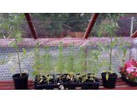 Bedding Plants, Basket Plants and Tomato Plants