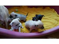 Full chihuahua puppy's