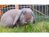 Liluc lop ear rabbit