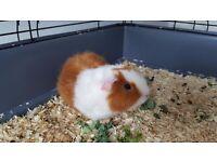 Really cute male guinea pig
