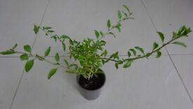 Goji Berry Lycium Barbarum Garden Fruit Plants