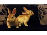 Orange mini Rex Rabbit