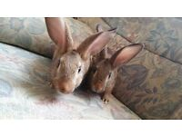 BELGUIM HARE/CROSS MALE RABBITS X 2