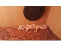 Albino Leopard Gecko with Vivarium