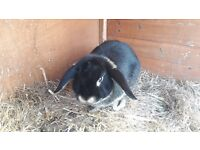 7 month old male rabbit for sale (£10)