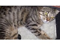 Really affectionate 16-month old tabby male cat