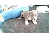KC REGISTERED BLUE STAFFY PUPPIES