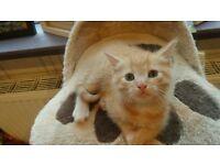 main coon cross ragdoll kitten