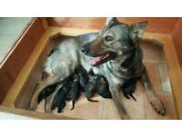 GERMAN SHEPHERD PUPPY'S FOR SALE