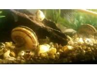 Giant Ramshorn snails for tropical aquarium fish tank