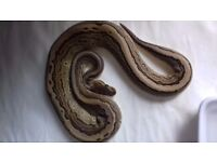 Royals pythons to good home.