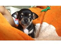 Tiny tri chihuahua girl