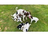 English Springer Spaniel puppies (ready 10th August)