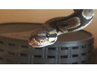 £50 ono Royal python female looking for a forever home