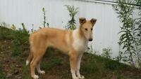CKC reg. Purebred 4 mo old Male Smooth Collie puppy