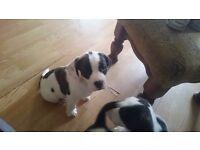 French bulldog x breagle puppies