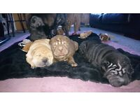 Shar pei puppies sale