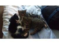 Lovely Male Kittens