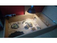 3 year old male horsefield tortoise and tortoise house - £220 ovno