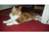 Ginger Female Kitten up for a loving home