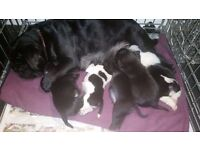 Stunning home reared pug puppies