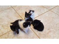 5 lovely kittens for sale