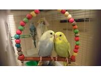 Budgies ( tamed)