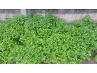 Free lettuce