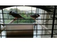 Java sparrows / Rice finches