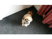 BARNEY. SHIH TZU X WITH LASERAPTER, BOY,2 YEARS OLD. £50