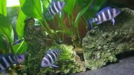 Frontosa Zaire Blue Frys