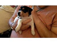 Female Jack Russell for sale.