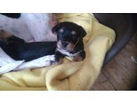 Jack Russell Cross Yorkie Pups.
