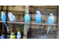 Budgerigars/Budgies for sale - various colours