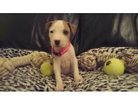 ** !!!REDUCED!!! Bella FEMALE STAFFY X STAFFORD~SHIRE BULL TERRIER PUPPY FOR SALE **