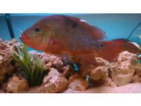 red terror cichlids